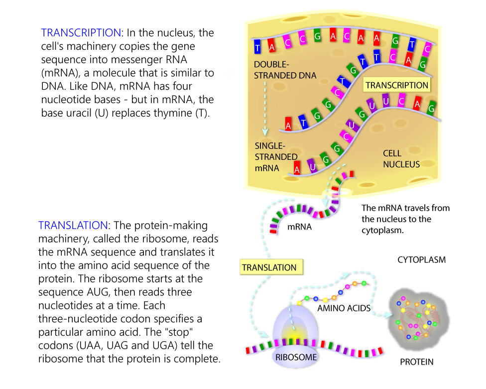 transcribe and translate a gene DNA Amino Acid Codon Chart transcription and translation
