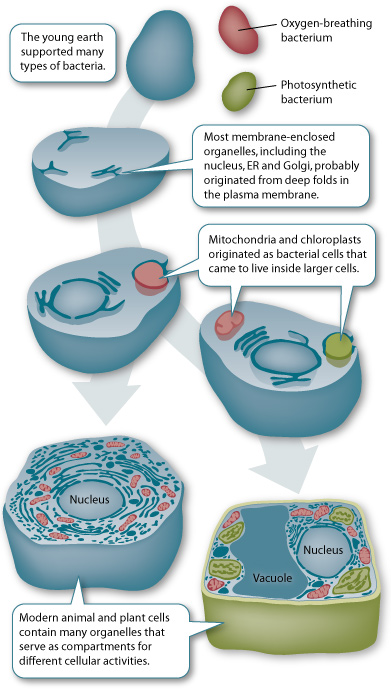 an introduction to mitochondrias evolution from the chloroplast 1 cell energy production - mitochondria 2 introduction  organelles 5 history  mitochodria 6 evolution mitochondria 7 chloroplasts.