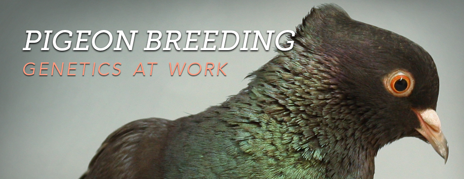 Pigeon Breeding: Genetics at Work